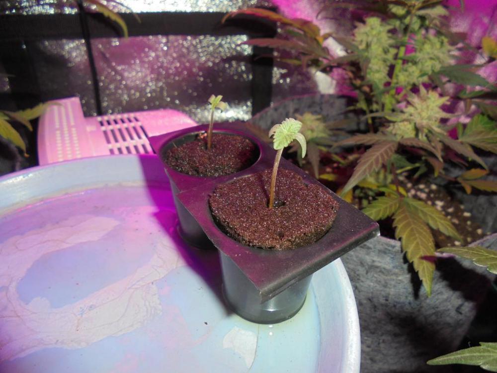 27april-2019-both-sweet-valley-kush-seedlings-grow-tent.jpg