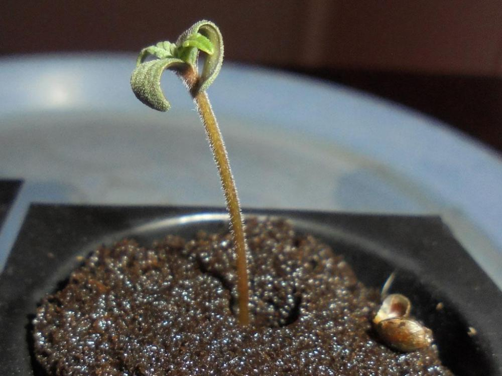 27april-2019-sweet-valley-kush-seedling-seed-casing-removed-close-up.jpg