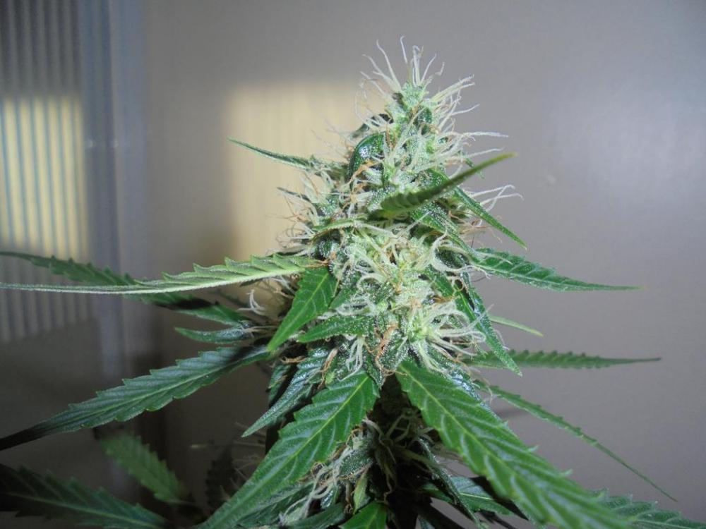 05may-2019-sweet-mango-tallest-plant-top-bud.jpg