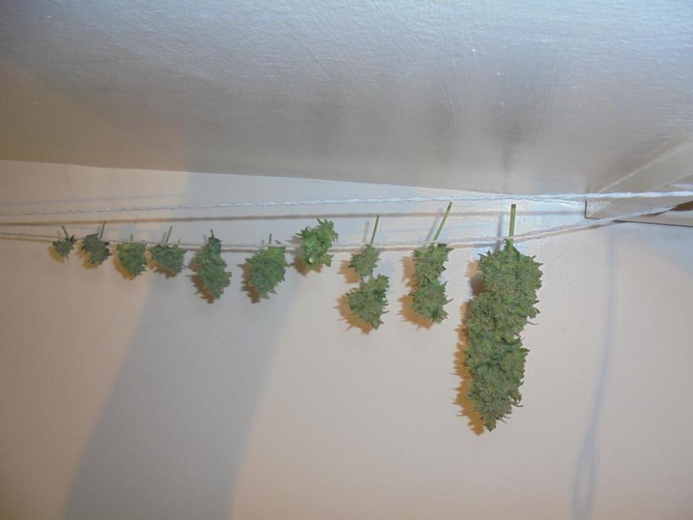 16may-2019-sweet-mango-trimmed-buds-drying.jpg