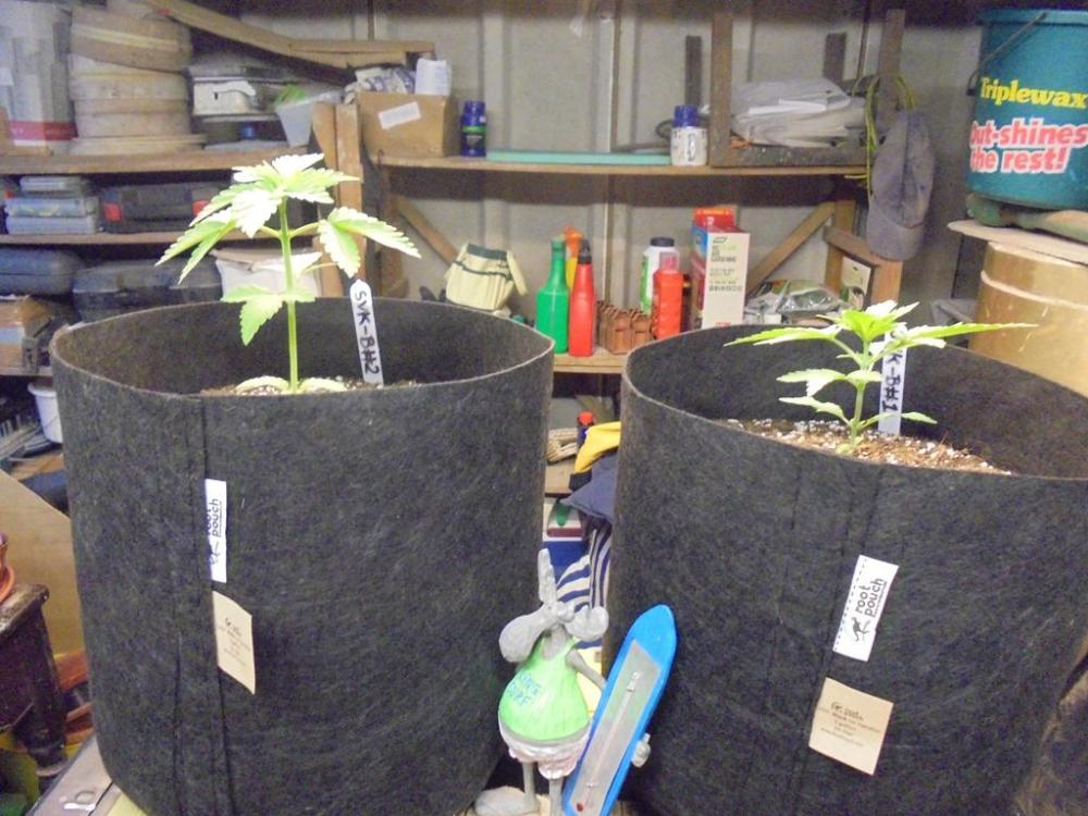 17may-2019-sweet-valley-kush-plants-in-shed.jpg