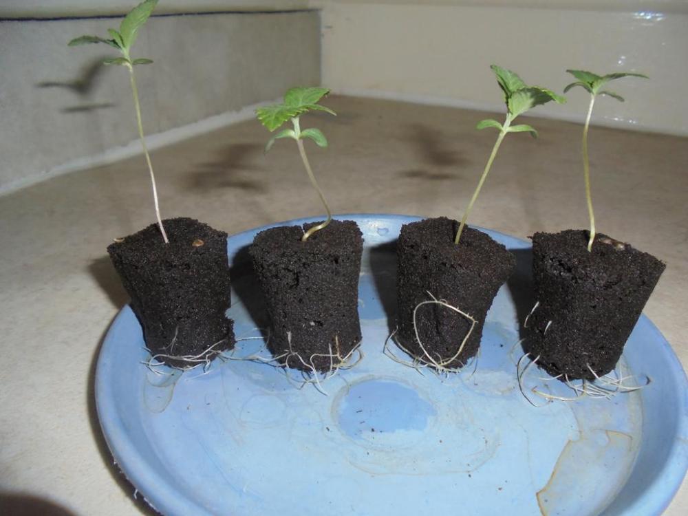 31may-2019-svk-seedlings-roots.jpg