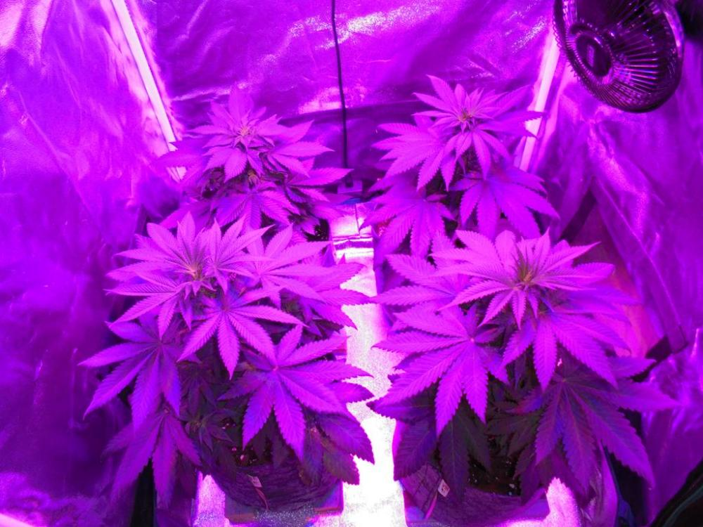 07july-2019-svk-grow-tent-top-view.jpg