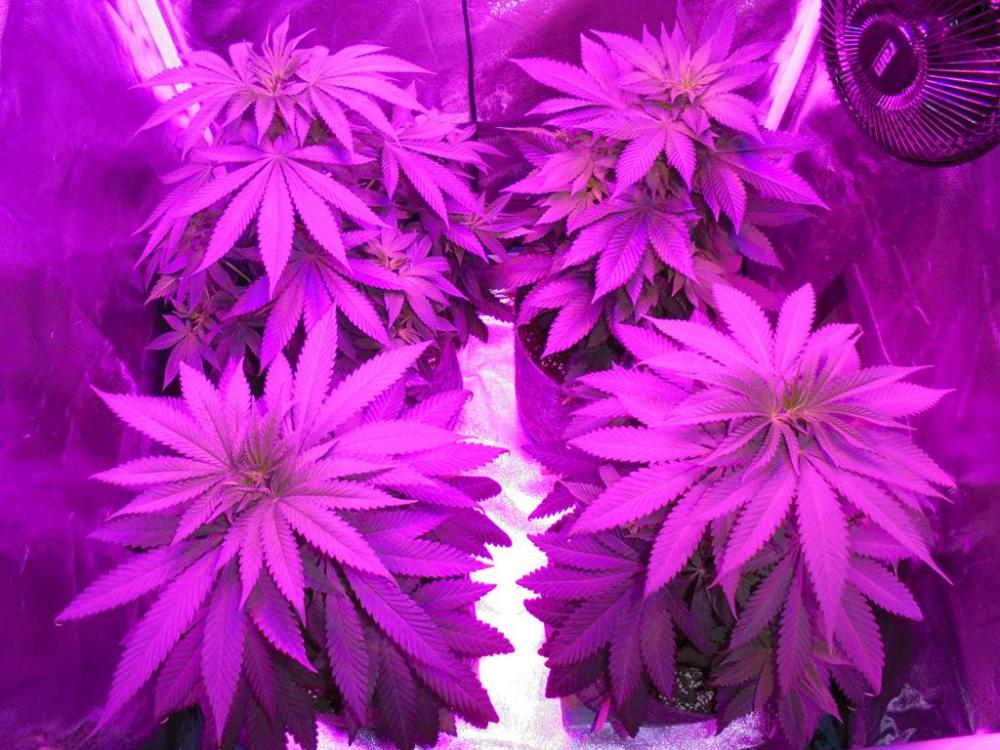 14july-2019-svk-in-grow-tent-under-led.jpg