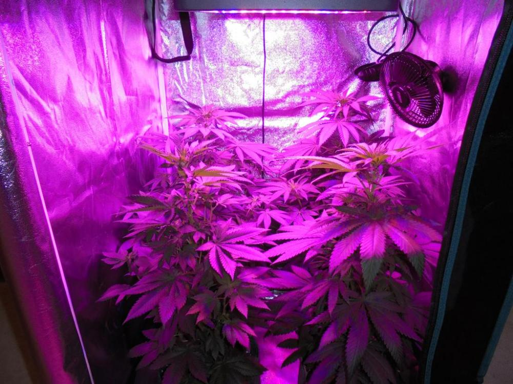 21july-2019-svk-in-grow-tent-under-led.jpg