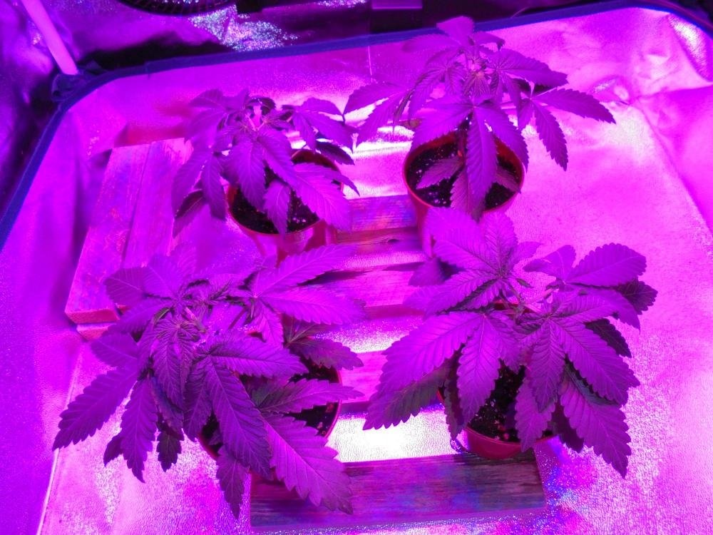 03oct-2019-svk-topped-in-grow-tent.jpg