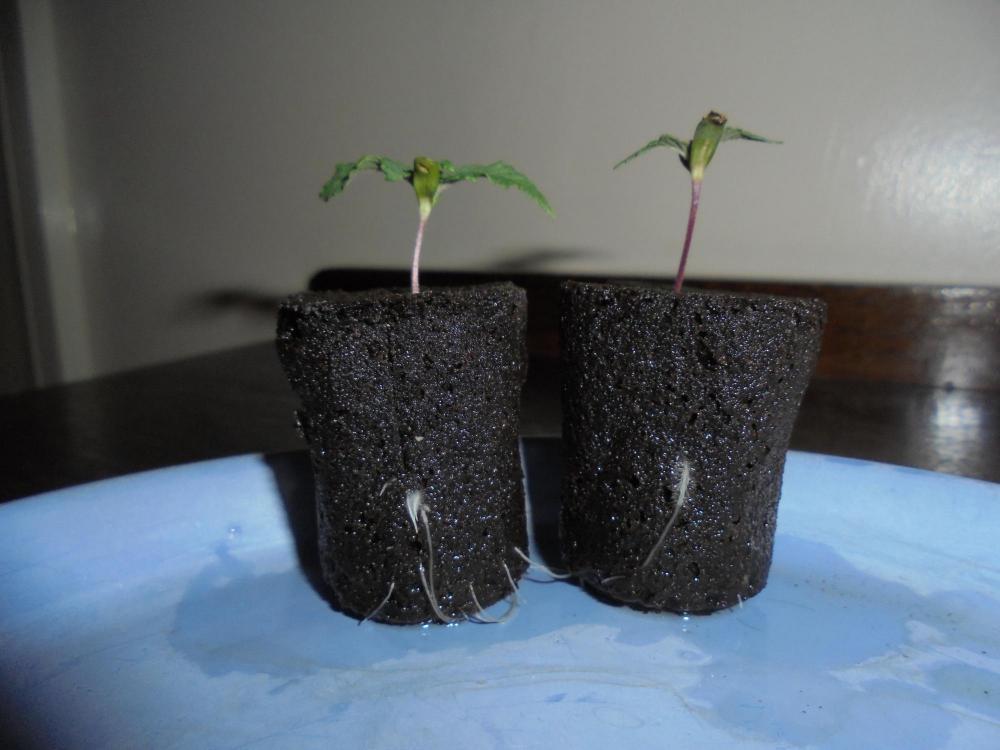 29nov-2019-jh-seedlings-root-plugs.jpg
