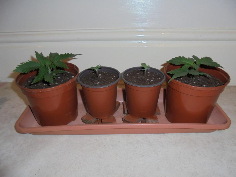 15dec-2019-all-seedlings-new-pots.thumb.jpg.2eb0eeaedfc46c3b036fd37b69f4fcf7.jpg