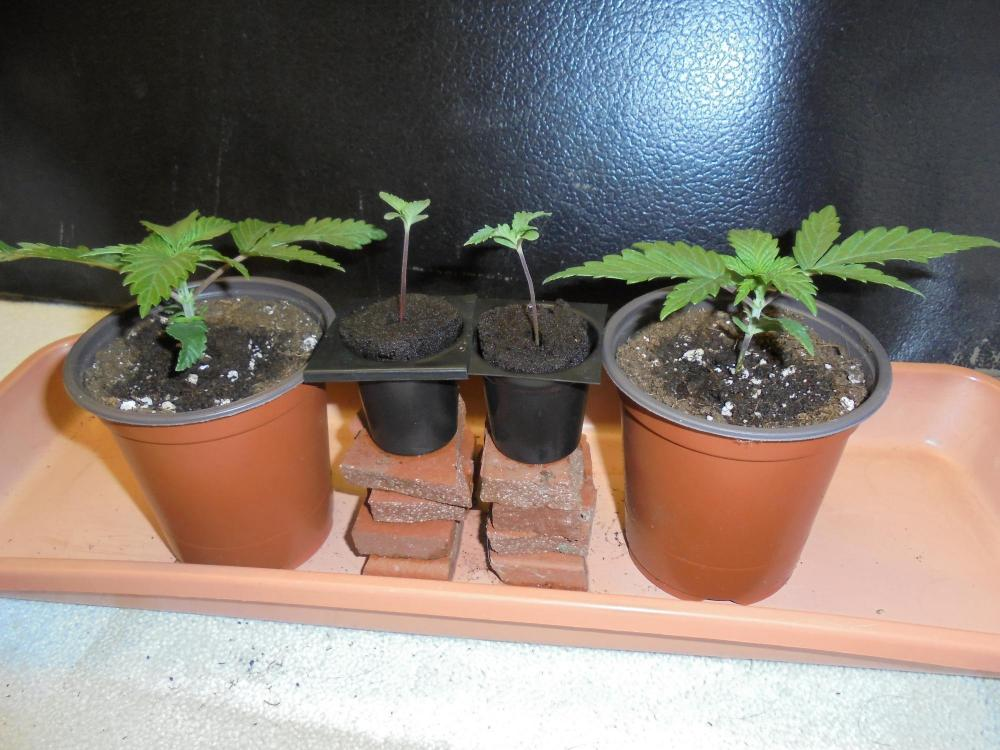 12dec-2019-jh-p#1-seedlings.jpg