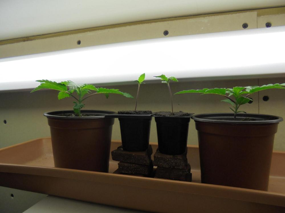 12dec-2019-jh-p#1-seedlings-fluoro.jpg