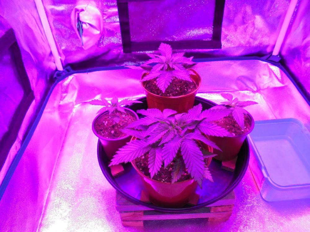 5dfe2ca0098f8_21dec-2019-jh-p1-grow-tent.thumb.jpg.f7576c064addffed5e2b43a40c7e18d1.jpg