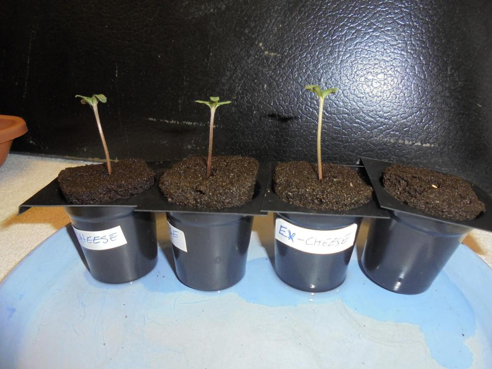 25mar-2020-cheese-seedlings.thumb.jpg.7edb25f1c7a37d3b548ad4794ebfc366.jpg