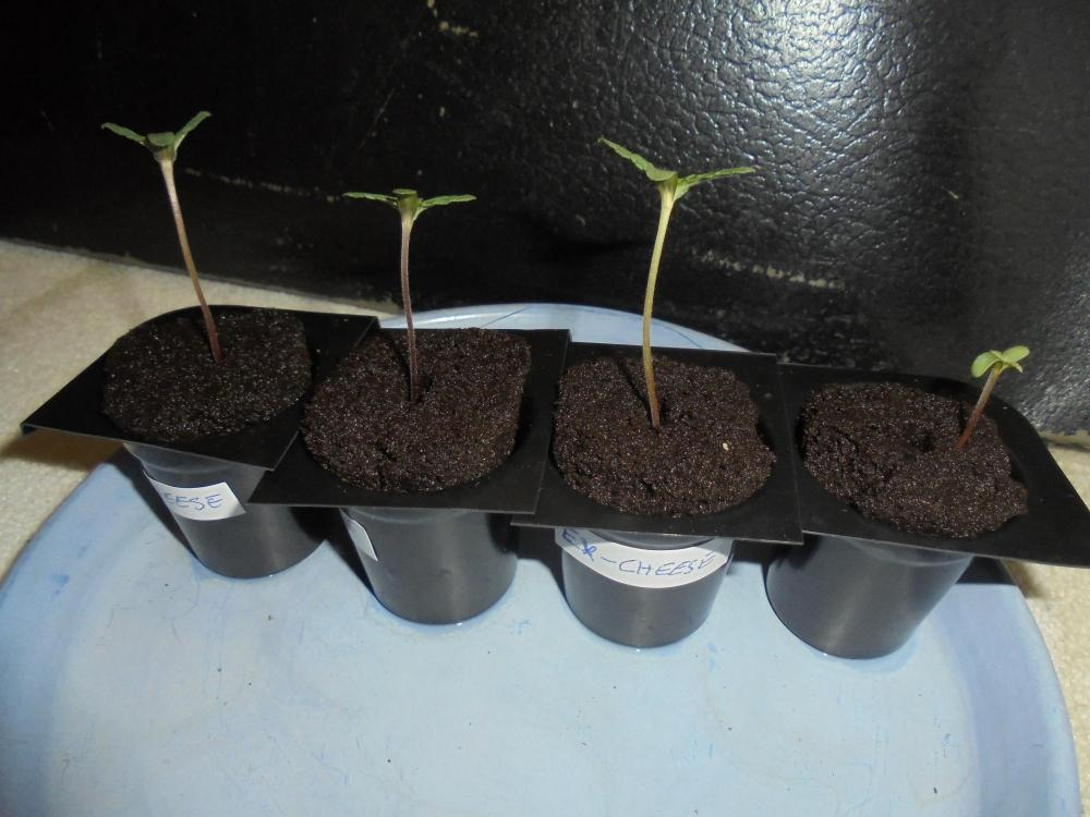 26mar-2020-cheese-seedlings.thumb.jpg.a8bfeaa2cdca74bfde8beefb1fab2ca0.jpg
