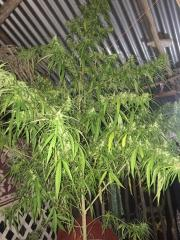 island weed