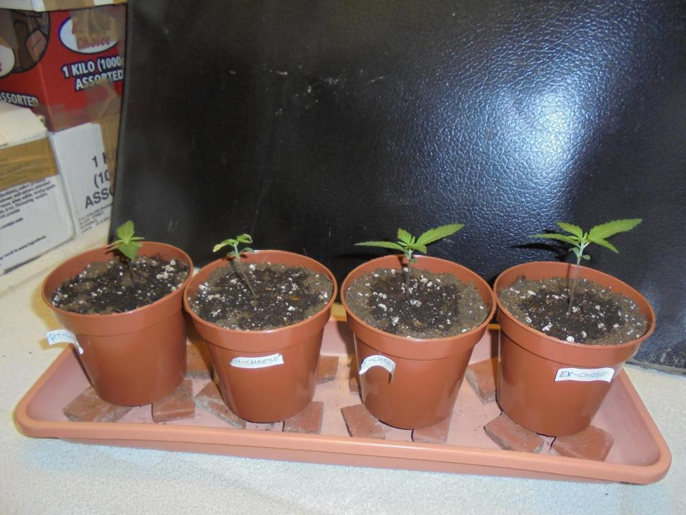 05april-2020-cheese-seedlings-side-view.thumb.jpg.53fda3eb451717c36a1a22d78dfa7811.jpg