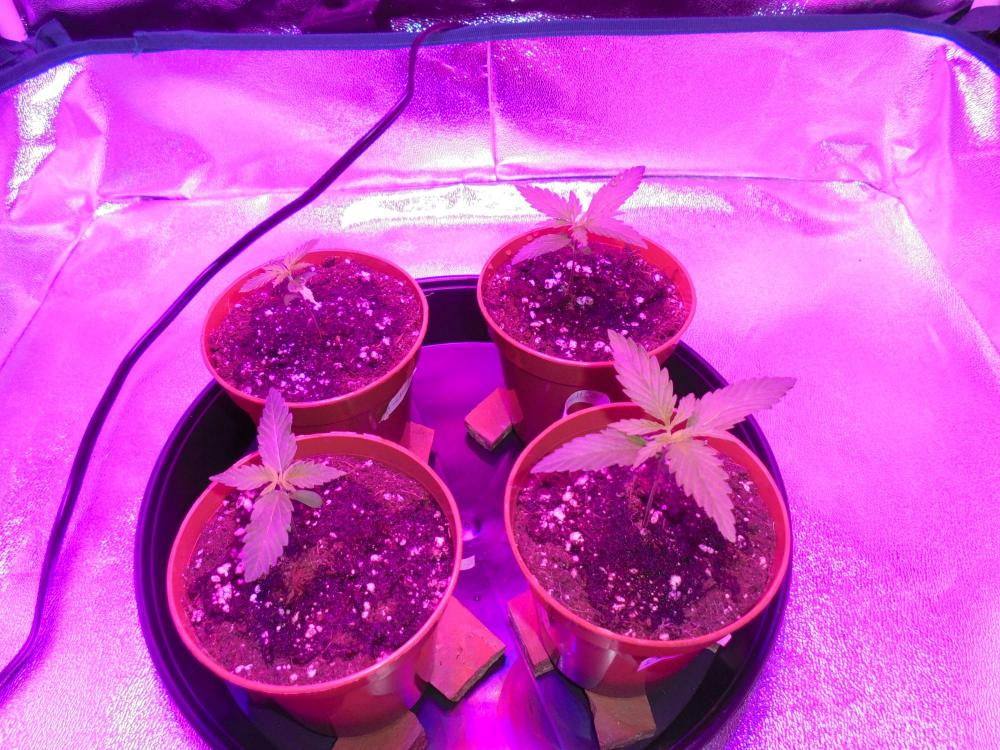 06april-2020-seedlings-close-up.thumb.jpg.1de8f719a1bf59997ceb652605a67a38.jpg