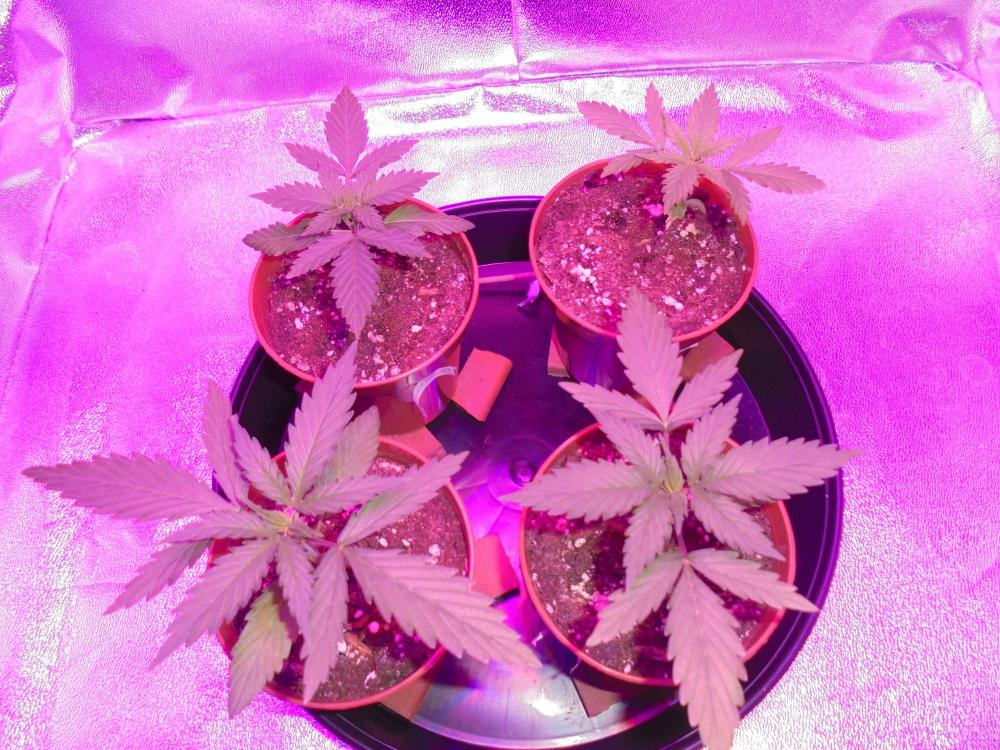 12april-2020-cheese-in-grow-tent.thumb.jpg.02b0bd1e9cff7ed790cc63a25b397055.jpg