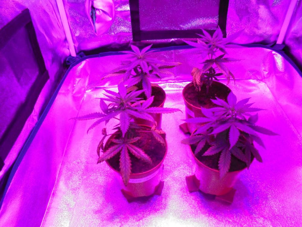 26april-2020-cheese-grow-tent-led.thumb.jpg.6cd0979e1d31412e5a68cd232cf871cf.jpg