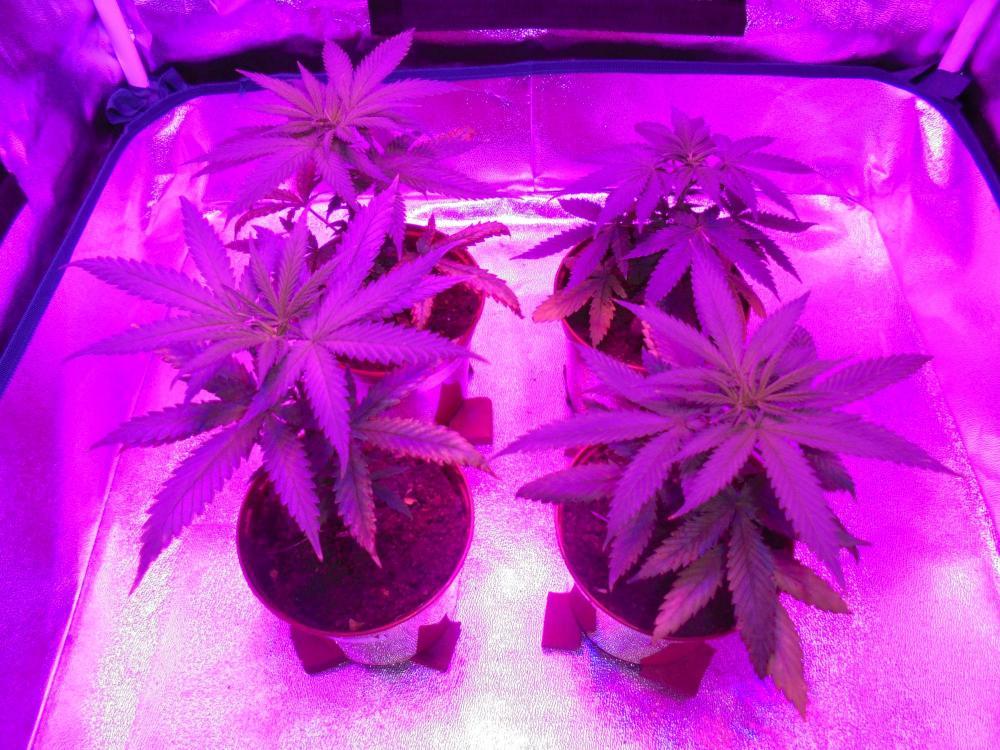 29april-2020-cheese-grow-tent.thumb.jpg.d0dddf2299b981412984666295eef83a.jpg