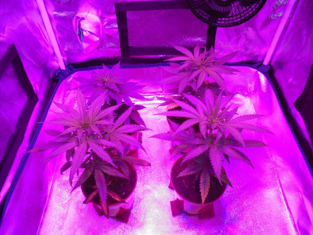 03may-2020-all-cheese-grow-tent-led.thumb.jpg.fc7dc037edc79333fb8815c93e3b0ba7.jpg