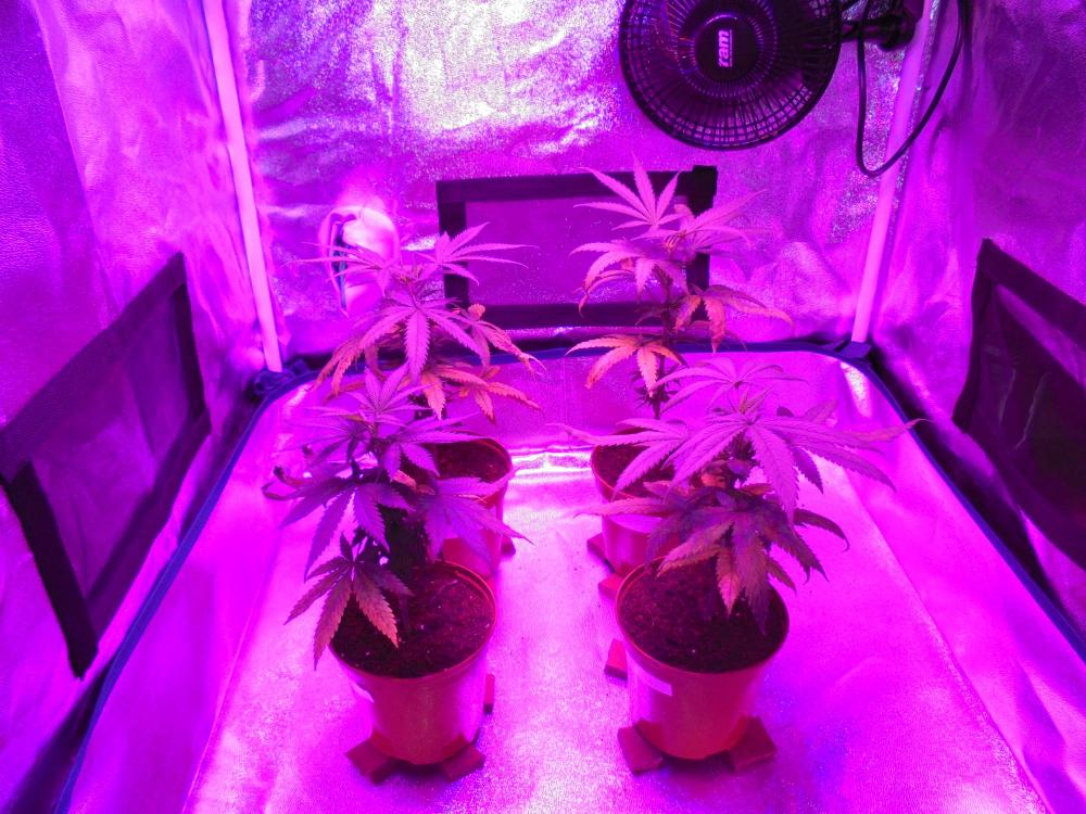 10may-2020-cheese-grow-tent-b4.thumb.jpg.297a8fa410e1605a2ccb11844556acf7.jpg