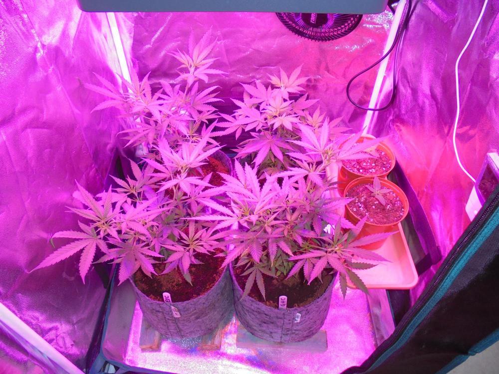 24may-2020-cheese-grow-tent.thumb.jpg.82437e15118b22bd3f7c6b1c817ed2f4.jpg