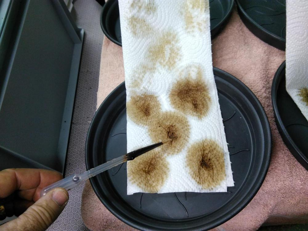 f_using a dropper to place a few drops on papertowel for each seed.jpg