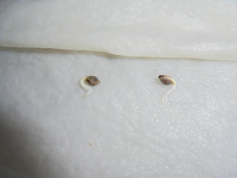 5eb9126061c58_11may-2020-p1-germinated.thumb.jpg.3774a7dd3ee63330d3301bcad9ca69fa.jpg