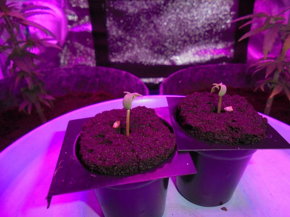 5ebc449d4197a_13may-2020-p1-seedlings.thumb.jpg.08c4b4ab94250f3bb69d0a8049f543a7.jpg