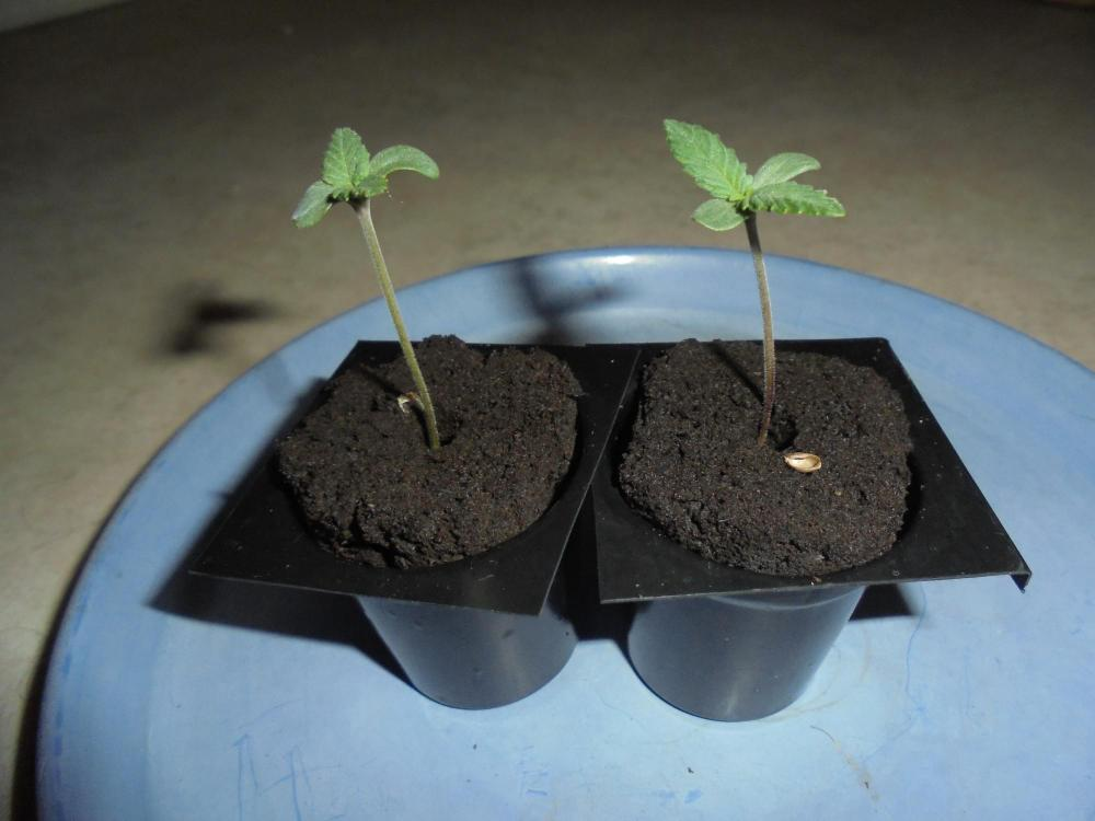 5ec16089a3af6_17may-2020-p1-seedlings.thumb.jpg.76fcc7b832121b6deb7e28af1881d852.jpg