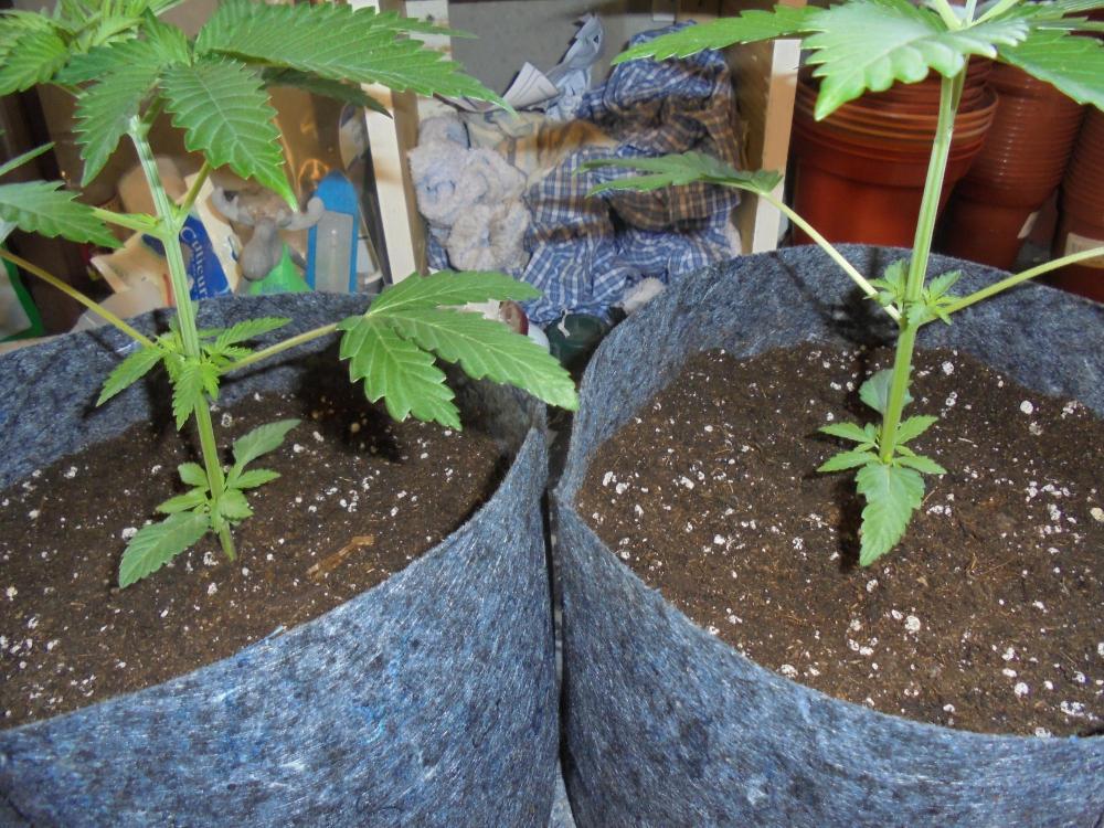 25june-2020-cw-plants-in-new-pouches.thumb.jpg.45411c62524f3998200441eb8664ea23.jpg