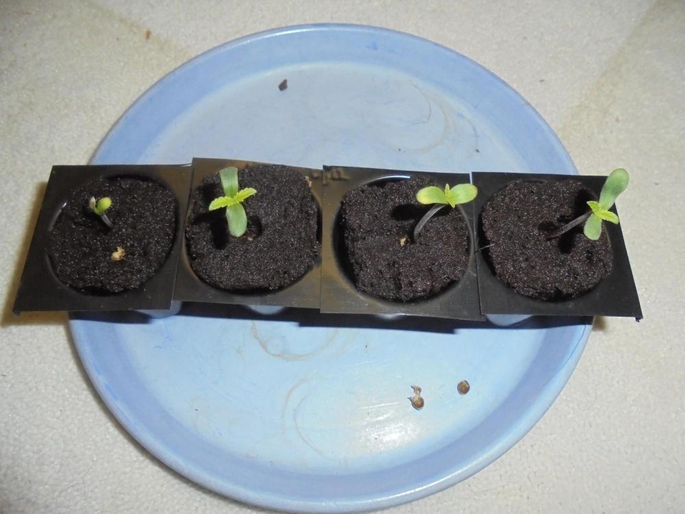 01july-2020-sb-seedlings-side.thumb.jpg.0c9ac07afc17ea17eb946f6d2c47bce7.jpg