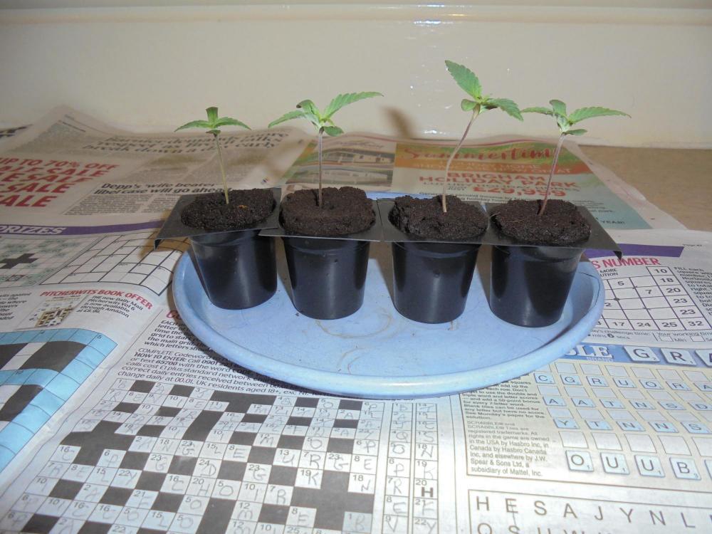 06july-2020-sb-seedlings-ready-2pot.thumb.jpg.04105ef359919efe5cc43796b34e8800.jpg