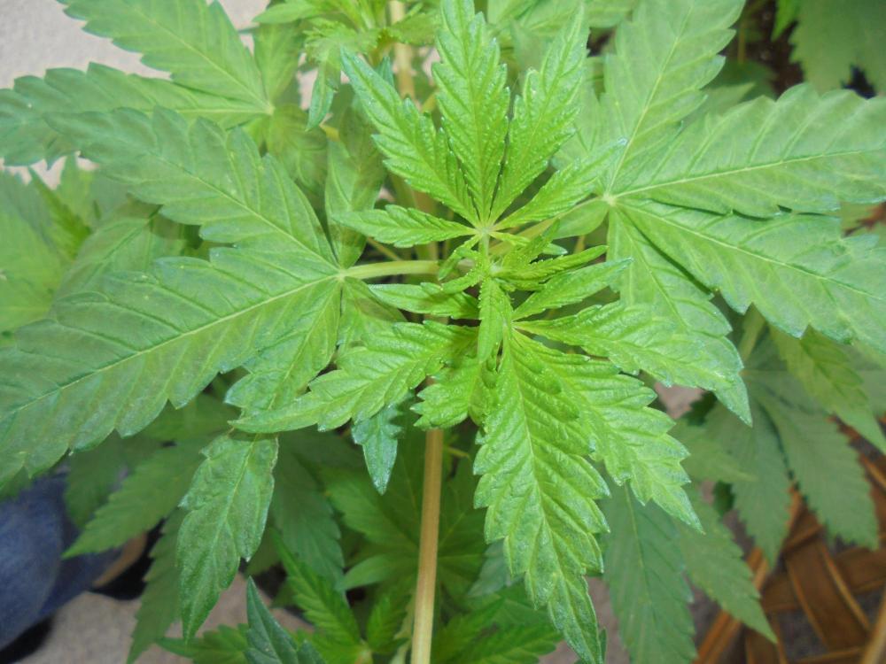 18july-2020-cw-single-mashed-leaf.thumb.jpg.5936e8fe888125cd2e482aaaeb6542ac.jpg