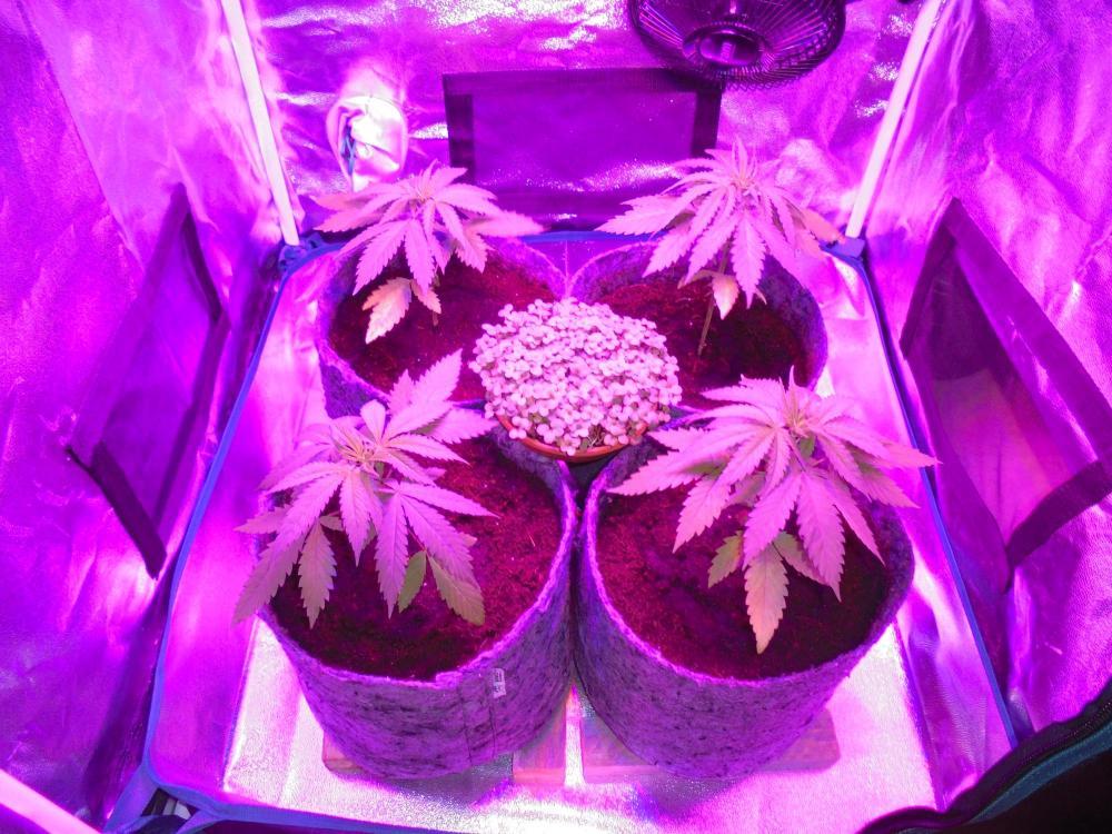 26july-2020-sb-in-grow-tent.thumb.jpg.2313543e8c2cc35c222d6b162b1bf92e.jpg