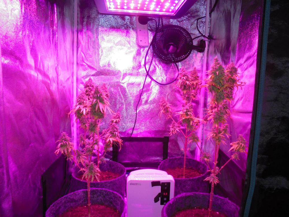 13oct-2020-sb-grow-tent-led.thumb.jpg.e04ac875fe9061e7db3be7611f353cec.jpg