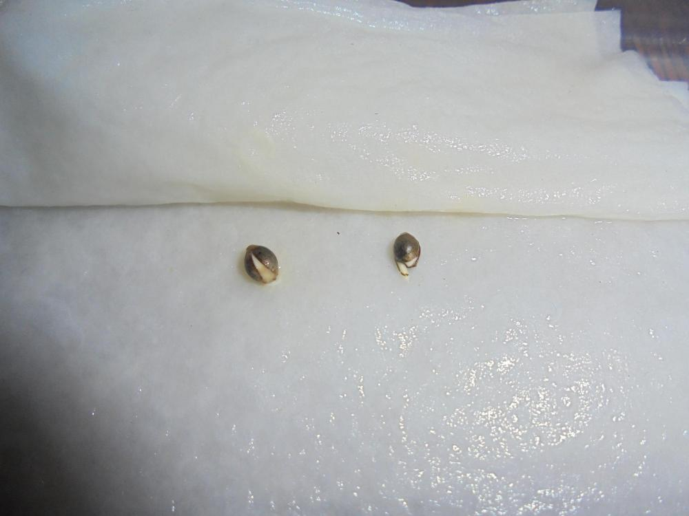 24oct-2020-sb-09sept-bean-germinated.thumb.jpg.86ffab38ee7866324948120b6546915a.jpg