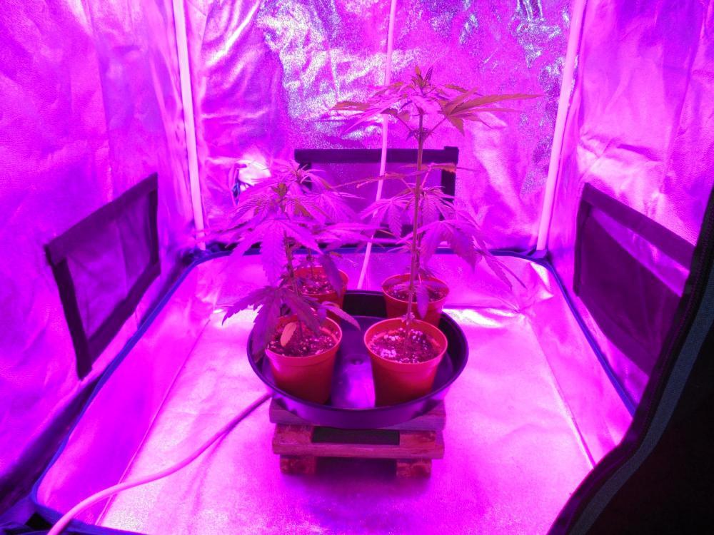 24oct-2020-sb-13oct-grow-tent.thumb.jpg.818b9161b645ac59e2fe448a6d0b0015.jpg