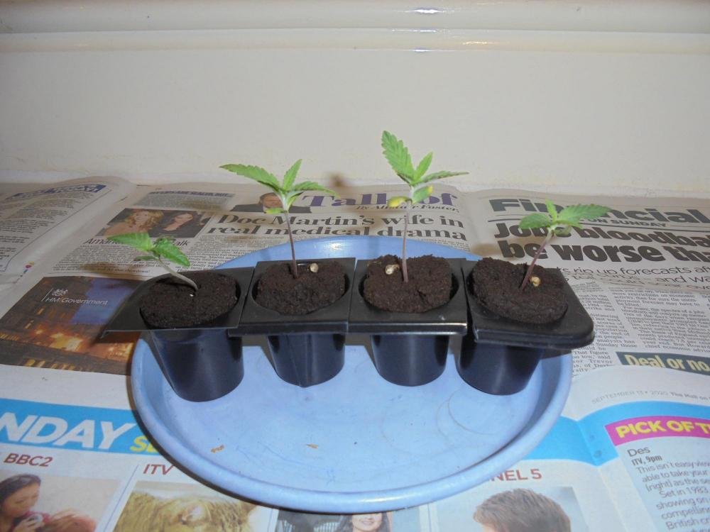 24oct-2020-sb-16sept-4-seedlings.thumb.jpg.8a7a270d25642a53e351752138e35765.jpg