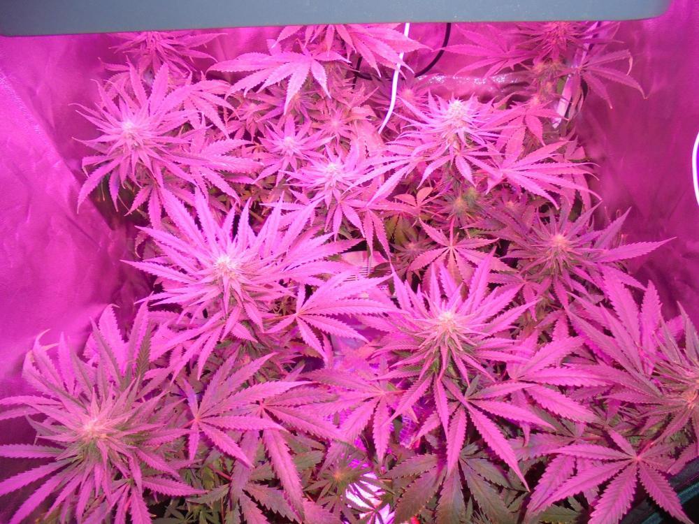 29nov-2020-sb-grow-tent.thumb.jpg.c25fa72edd9e402ee36f17edca7bb15a.jpg