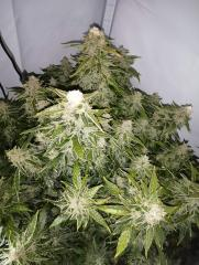 2261741_fastbuds-gorilla-glue-auto-grow-journal-by-bumbabufastbudsgorilla-glue.jpg