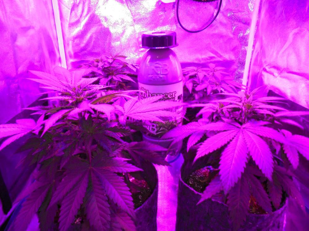 17jan-2021-dr-grow-tent.thumb.jpg.a30da11a19b3da55e728ab42abb4f954.jpg