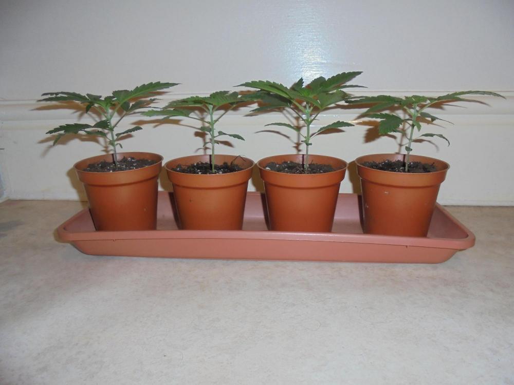 26dec-2020-dr-plants-vegging.thumb.jpg.2d4c1af0c392dbafe1a3d6e81835c955.jpg