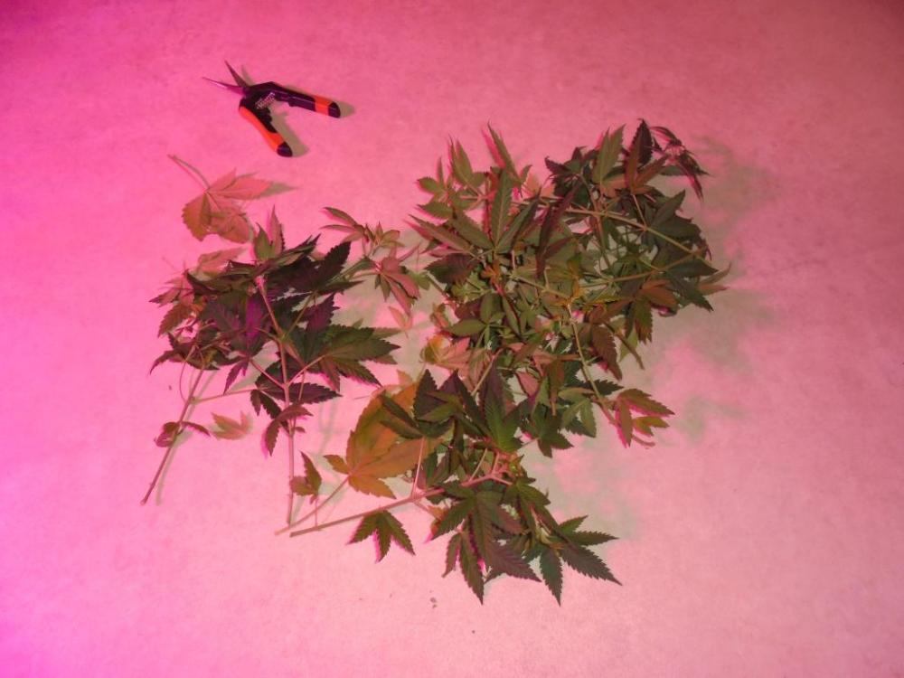 07feb-2021-dr-foliage-trim.thumb.jpg.79591326b22b34dadb670ec37fed6d5a.jpg