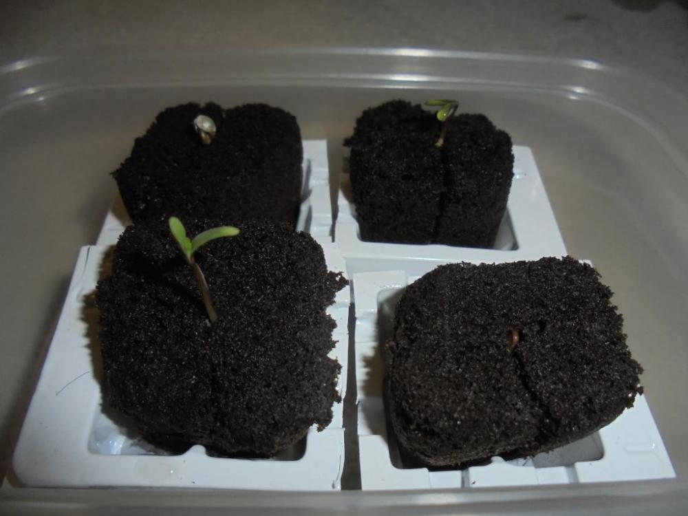 01mar-2021-kj-3-seedlings-morning.thumb.jpg.886752adadbba4ba621f22a6cae90d78.jpg