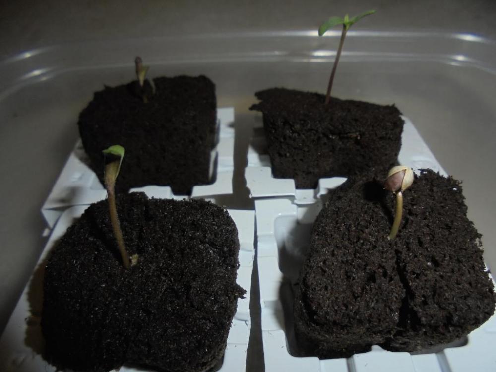 01mar-2021-kj-seedlings-night.thumb.jpg.44ecaf62dbf467fb1470077e277f75cf.jpg