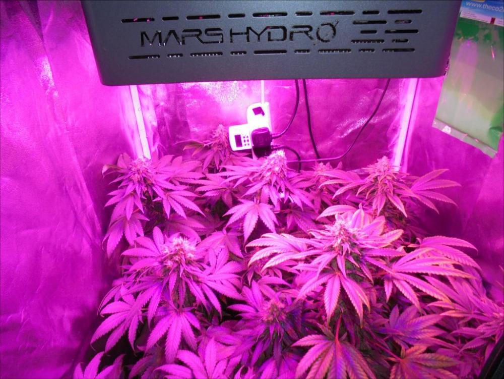 14mar-2021-dr-grow-tent.thumb.jpg.9a29fbbdf8b35a3f694bcece744aa3dd.jpg