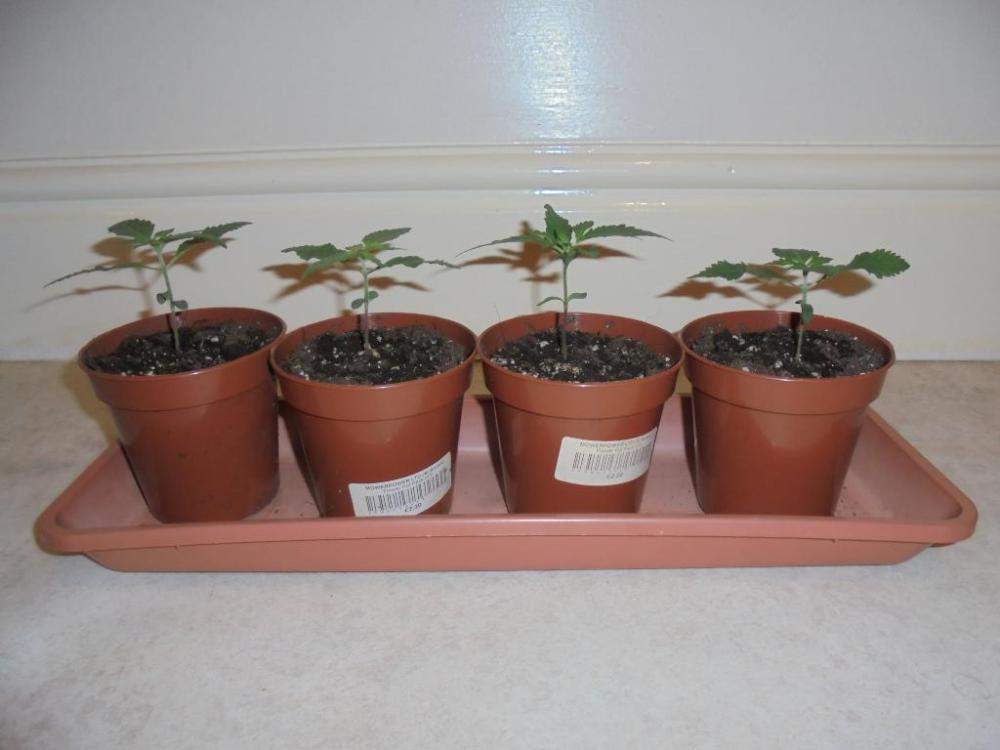 14mar-2021-kj-seedlings-side-view.thumb.jpg.be59e59f550c3c1cdd9df3b16ba53ea2.jpg