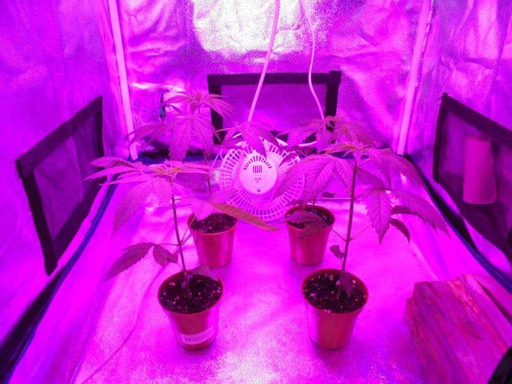 29mar-2021-kj-plants-grow-tent.thumb.jpg.e6fd7a2e1c8b1f9c7d62583f30e0984b.jpg