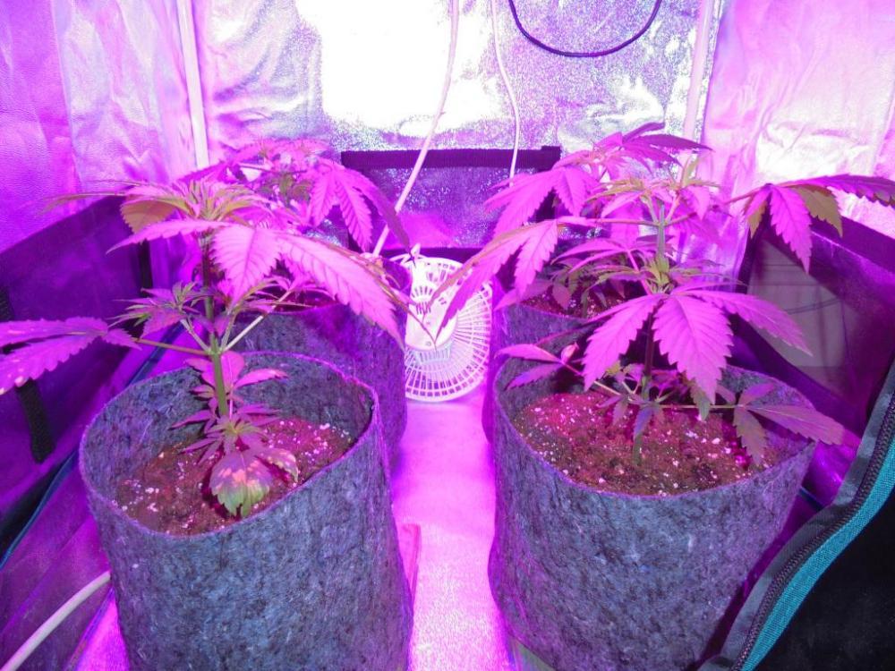 04aprl-2021-kj-grow-tent.thumb.jpg.0cbb9ac6dce34ce578d6b5d00ba18278.jpg